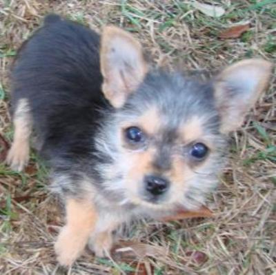 AJ is a chihuahua/yorkie mix from Charleston, South Carolina | LuvMutt