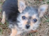 thumbs aj1 AJ is a chihuahua/yorkie mix from Charleston, South Carolina