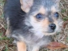 thumbs aj3 AJ is a chihuahua/yorkie mix from Charleston, South Carolina