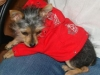 thumbs aj4 AJ is a chihuahua/yorkie mix from Charleston, South Carolina