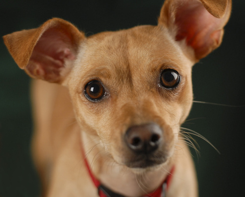 Chihuahua Dotson Mix for Pinterest