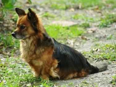 Baby the Corgi dachshund Mix from Florida | LuvMutt.com