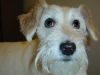 thumbs bailey5 Bailey the Schnauzer Mix from New York