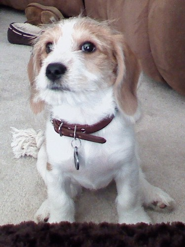 Beagle mixed with poodle baxter the beagle mix from