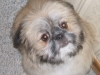 thumbs baxter1 Baxter is a bichon/shih tzu mix from Red Deer, Alberta, Canada