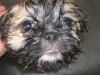 thumbs baxter4 Baxter is a bichon/shih tzu mix from Red Deer, Alberta, Canada