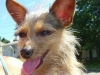 thumbs biggs1 Biggs is a chihuahua/yorkie mix from Mingo Junction, Ohio