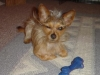 thumbs biggs2 Biggs is a chihuahua/yorkie mix from Mingo Junction, Ohio