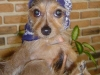 thumbs biggs3 Biggs is a chihuahua/yorkie mix from Mingo Junction, Ohio