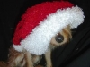thumbs biggs5 Biggs is a chihuahua/yorkie mix from Mingo Junction, Ohio