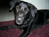 thumbs bo1 Bocephus the Lab Mix from Mississppi