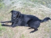 thumbs bo2 Bocephus the Lab Mix from Mississppi