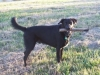 thumbs bo4 Bocephus the Lab Mix from Mississppi