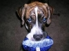 thumbs chuck3 Chuck is a boxer/great dane mix from Orlando, Florida