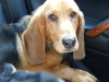 thumbs cledus2 Cledus the Basset Hound Mix from Montana