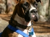 thumbs colby1 Colby the Boxer Mix from North Carolina
