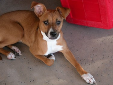 Dancer the Boxer Mix Puppy from Arizona