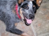 thumbs dazey1 Dazey the Cattle Dog Mix from Tennessee