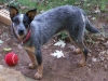 thumbs dazey2 Dazey the Cattle Dog Mix from Tennessee