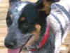 thumbs dazey3 Dazey the Cattle Dog Mix from Tennessee