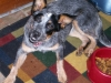 thumbs dazey4 Dazey the Cattle Dog Mix from Tennessee