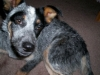 thumbs dazey5 Dazey the Cattle Dog Mix from Tennessee