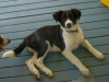 thumbs domino1 Domino the Collie Mix from Hawaii