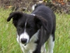 thumbs domino2 Domino the Collie Mix from Hawaii