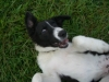 thumbs domino3 Domino the Collie Mix from Hawaii