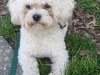 thumbs floyd1 Floyd the Bichon Mix from New York