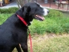 thumbs herman2 Herman is a lab/collie mix from Raleigh, North Carolina