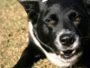 thumbs jasmine2 Jasmine is a lab/border collie mix from Goleta, California