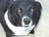 thumbs jasmine3 Jasmine is a lab/border collie mix from Goleta, California