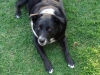 thumbs jasmine4 Jasmine is a lab/border collie mix from Goleta, California
