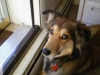 thumbs jennifer4 Jennifer is a collie mix from Brodheadsville, Pennsylvania