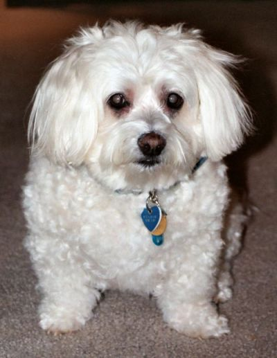 Kirby is a senior bichon/maltese mix from Fairfax, Virginia | LuvMutt ...
