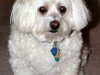 thumbs kirby1 Kirby is a senior bichon/maltese mix from Fairfax, Virginia