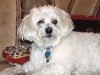 thumbs kirby2 Kirby is a senior bichon/maltese mix from Fairfax, Virginia