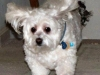 thumbs kirby3 Kirby is a senior bichon/maltese mix from Fairfax, Virginia