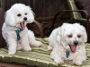 thumbs kirby4 Kirby is a senior bichon/maltese mix from Fairfax, Virginia