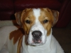 thumbs lexy4 Lexy is an American bulldog mix from High Springs, Florida