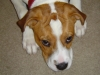 thumbs lexy5 Lexy is an American bulldog mix from High Springs, Florida