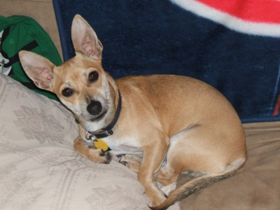 Max the Chihuahua Mix from Florida