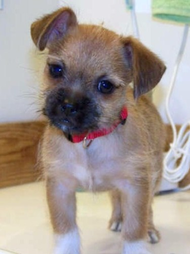Chihuahua Terrier Mix Puppies - Bing images