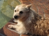 thumbs mitzi1 Mitzi is a terrier mix from Melbourne, Australia