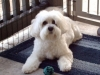 thumbs nikki1 Nikki the Bichon Mix from California