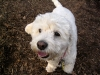 thumbs princess1 Princess is a bichon/spaniel mix from Bergen County, New Jersey