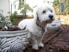 thumbs princess2 Princess is a bichon/spaniel mix from Bergen County, New Jersey