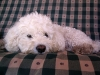 thumbs princess3 Princess is a bichon/spaniel mix from Bergen County, New Jersey