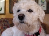 thumbs princess4 Princess is a bichon/spaniel mix from Bergen County, New Jersey